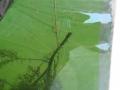 larwy szczupaka na substracie